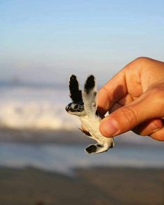 20 of the Cutest Baby Sea Turtles animals exoticos salvajes video funny wild sea animals animals cutest animals cutest videos animals wild animals cats baby kittens dogs puppies Baby Animals Pictures, Cute Animal Pictures, Animals And Pets, Baby Pictures, Smiling Animals, Animals Sea, Small Animals, Jungle Animals, Nature Animals