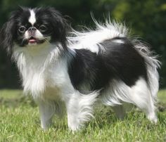 When I am old I am going to carry a Japanese Chin around in my purse!!