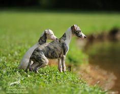By Julie Poole. Magyar Agar, The Perfect Dog, Afghan Hound, Grey Hound Dog, Irish Wolfhound, Italian Greyhound, Country Of Origin, Lamb, Beast