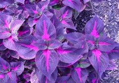 Coleus planted w a pink flower would look awesome!