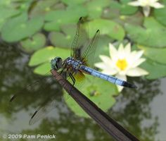 Dragon Flies and Water Lilies