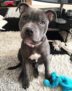 #bluenose #BlueStaffy #BULLBREEDSOFINSTA #bestwoof #bullyhaven #whogivesapit #loveapibble #pitbulllife #pitbulllove #pitmixagram #pitbullgram #staffyoftheday #pitbullsofinstagram #ourpitpage #insta_dogs #staffylove #staffiesdaily #spreadtherumer #featuremydogz #Dog_Features #dogsofinstagram #dontbullymybully #staffygram #Pittiesofinsta #staffymoments #puppiesxdogs #ENDBSL #staffordshirebullterrier #LAPSpringSearch #ANIMALADDICTS @puppygr4m Follow my pawtners! @ellie_tara_jade_springers…