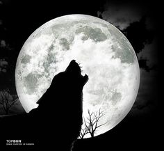 Wolves Howling at the Moon | wolf howling at the moon/ left side