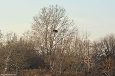 As seen from the Baxter Trail, the sycamore tree in which lay the eagles' nest is on the northwest side of the tidal pond, right before where Pennypack Creek bends in between the Philadelphia men's and women's jails.