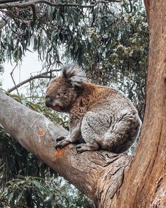 Great Ocean Road trip itinerary, driving from Melbourne to Adelaide, must see on the Great Ocean Road, Kennett River Koala Walk Melbourne To Adelaide, Melbourne Trip, Apollo Bay, Seaside Towns, Great Barrier Reef, Sandy Beaches, Wanderlust Travel, Wine Country, Road Trip