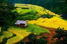 Golden season in Sapa