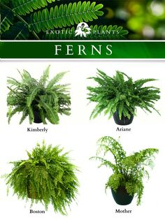 Four varieties of common ferns