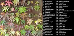 Acer palmatum cultivars from Conifer Kingdom