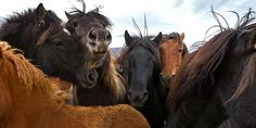 Laufskalarett, Horse Round-up, Iceland.