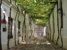 Trees grown over a street for perfect shade.