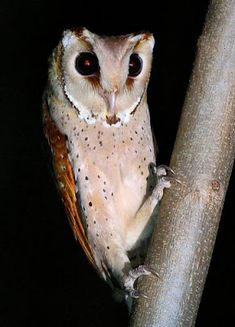 Oriental Bay Owl (Singapore). Was thought to be locally extinct, but recent sightings hint of a reestablishment of breeding populations.