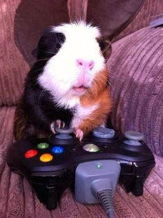 A guinea pig and his Xbox…what is YOUR favorite Xbox game?? http://litb.me/p7wCvy