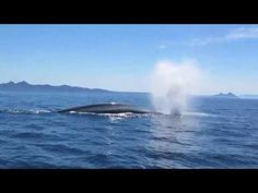 Blue Whale, Videos, Animals, Animales, Animaux, Animal Memes, Animal, Video Clip, Animais