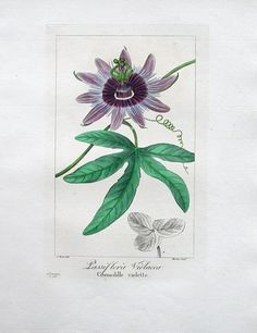 Passiflora x violacea 1824, Pancrace Bessa Botanical Prints 1836