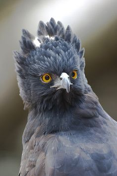 black hawk eagle : I assume that this would be the head a Gryphon would have.
