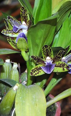 Green and purple orchids