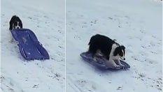 Il cane si diverte come un bimbo: trascina lo slittino e scivola giù