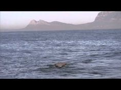 Great White Shark jumps out of the ocean to attack its meal for Oberto Beef jerky #JAWSomeJerky