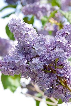 Lilac shrubs are beautiful, fragrant and a great addition to any garden. Landscaping Plants, Garden Plants, Potpourri, Lilac Varieties, Moss Phlox, Lagerstroemia, Syringa Vulgaris, Sunflower Garden, Container Vegetables