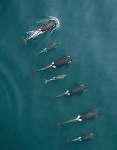 Puget Sound's killer whales....