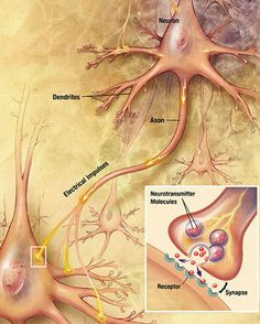 Functions of Different Types of Neurons #brain #anatomy
