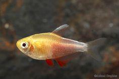 Von Rio tetras - 5 in my home tank. Freshwater Aquarium Fish, Aquarium Fish Tank, Fish List, Home Aquarium, Fresh Water, Rio, Tropical, Aquariums, Pets