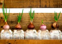 Hydroponic garden with onion