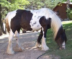 Gypsy Horses - Mares, Feathered Gold Rhiannon, www.featheredgold.com