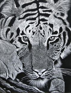"""""""Tiger"""" by Niki Hughes - Scratch Art on Ampersand Claybord Black Paper Drawing, Tiger Drawing, Tiger Painting, Scratchboard Art, Scratch Art, Paper Animals, White Pencil, Arts Ed, Art Techniques"""