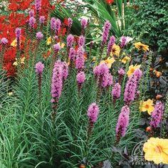 Liatris spicata Floristan Violet  Blazing Star
