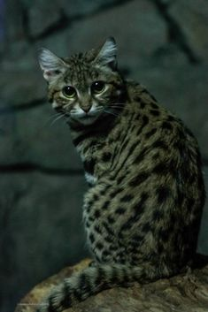 One of the smallest wild cats, the black-footed cat rests during the day among the bushes or in a burrow abandoned by an aardvark or porcupine. It emerges a Small Wild Cats, Small Cat, Big Cats, Cool Cats, Black Footed Cat, Michael In The Bathroom, Spotted Cat, Cincinnati Zoo, Magic Garden