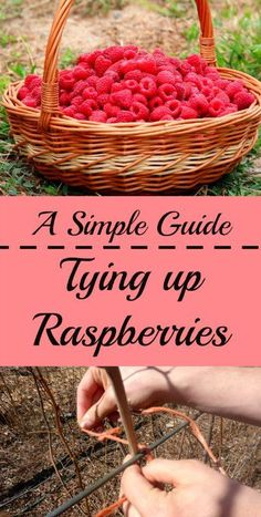 A Simple How-To Guide for Tying up Raspberries in a Home Patch - Raspberries - Ideas of Raspberries - A Simple Guide to Tying up Raspberries. This easy method can improve yields and ease of harvest.