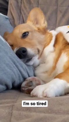 Cute Baby Dogs, Cute Funny Dogs, Funny Cats And Dogs, Cute Dogs And Puppies, Cute Funny Animals, Cute Corgi Puppy, Corgi Funny, Corgi Dog, Super Cute Animals
