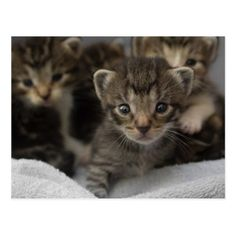 562edd88d6 Photo of a group of cuddly kittens postcard. Wall Stickers ...