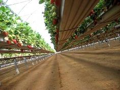 Pelemix growbags+gutter system for growing strawberries. Plant strawberries in the rain gutter and support them with re-bar or what ever.