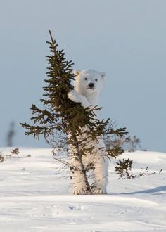 Wildlife Photography Wonders of 2014 - Christmas Tree of polar bear cub.NatGeo Wildlife Photography Wonders of 2014 - Christmas Tree of polar bear cub. Nature Animals, Animals And Pets, Baby Animals, Funny Animals, Cute Animals, Funny Pets, Animals In Snow, Wildlife Nature, Fun Funny
