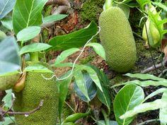 https://faaxaal.blogspot.com/2018/01/Jacquier-Jaquier-Arbre-a-pain-Artocarpus-heterophyllus-Jack-tree-Jakfruit-Jack-Jak-Fenne.html - Jacquier - Jaquier - Arbre à pain - Artocarpus heterophyllus - Jack tree - Jakfruit - Jack - Jak - Fenne -  Flore de la Réunion - Plantes de la Réunion - Flore exotiques de la Réunion - Arbres et arbustes de l'Inde - Flore du Bengladesh - Flore asiatique