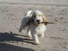 Grand Basset Griffon Vendeen ... Feel Good Pictures, Dog Pictures, Petit Basset Griffon Vendeen, Basset Hound, Puppys, Livestock, Mans Best Friend, Farm Life, Fern