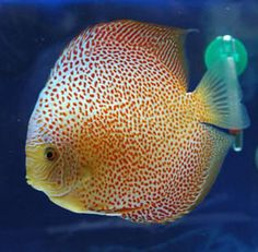 Pretty nice Leopard discus. Or is it a snakeskin? I get confused