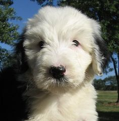 old english sheepdog photo | Sheepadoodle puppy (Old English Sheepdog / Standard Poodle hybrid ...