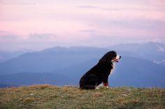 Bernese Mountain Dog, by Kseniya Ressy.