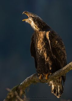 A young bald eagle is telling off another eagle for some reason. Made for a decent shot. By Henrik Nilsson on 500px