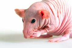 ~ Hairless Rats Are So Sweet ~