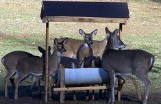 Easy do it yourself deer feeder