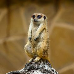 Meerkats would look a bit shifty. | 28 Animals That Look Way Better With No Necks