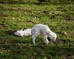 welsh lambs - Google Search
