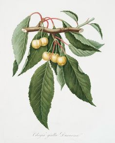 Free printable. Cilegia gialla Duracina. [Cerasus Duracina ; Cherry] From New York Public Library Digital Collections.