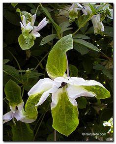 Clematis viticella 'Alba Luxurians'