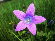 Flower - Bell