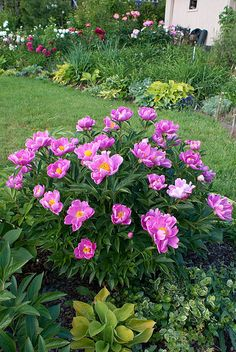 Paeonia Little Medicineman